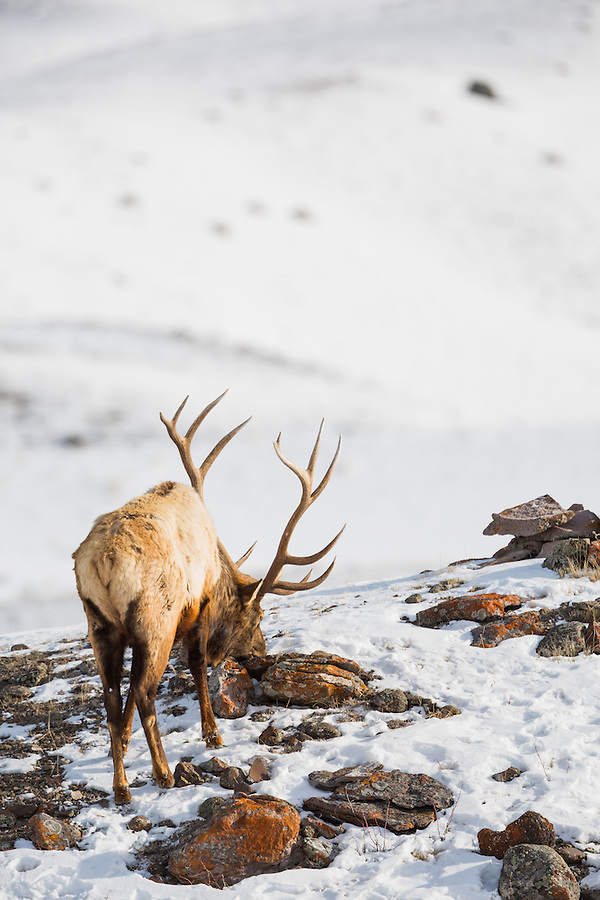 A single bull elk with antlers stands near the top of a rocky lichen-covered hillside in the snow within Yellowstone National Park, Wyoming.