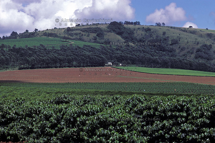 ZIMBABWE - Chipinge, piantagioni di te' e caffe' (davanti).ZIMBABWE - Chipinge, Tea plantations and coffee in front..