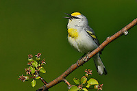 Blue-winged x Golden-winged Warbler Hybrid - Vermivora cyanoptera x chrysoptera - 'Brewster's Warbler'