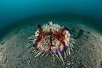 Fire sea urchin (Astropyga radiata) hosting a zebra crab  (Zebrida adamsii)