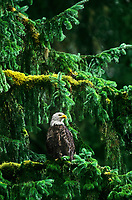 521040100 a wild adult bald eagle hailaeetus leucocephalus a federally threatened raptor perches in a rain soaked fir tree in a southeast alaska temperate rainforest