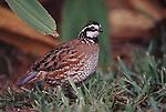 Bob whites bird in New Mexico