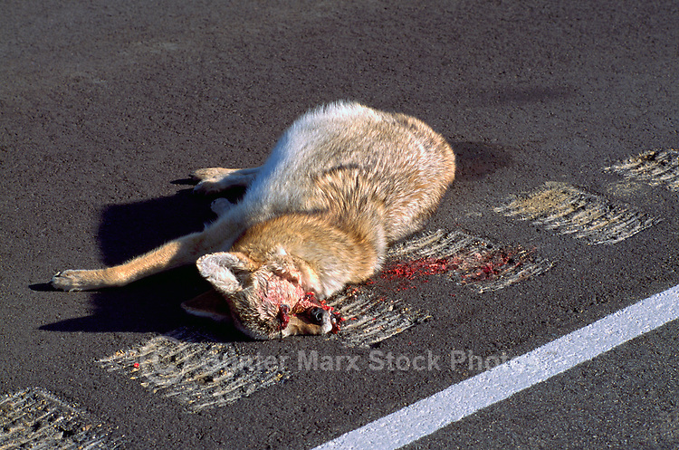 Roadkill Carcass of Coyote (Canis latrans) - North America