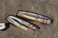 Amerikanische Scheidenmuschel, Gerade Scheidenmuschel, Amerikanische Schwertmuschel, Schale, Muschelschale am Strand, Spülsaum, Ensis leei, Ensis directus, Ensis americanus, Atlantic jackknife , bamboo clam, American jackknife clam, razor clam