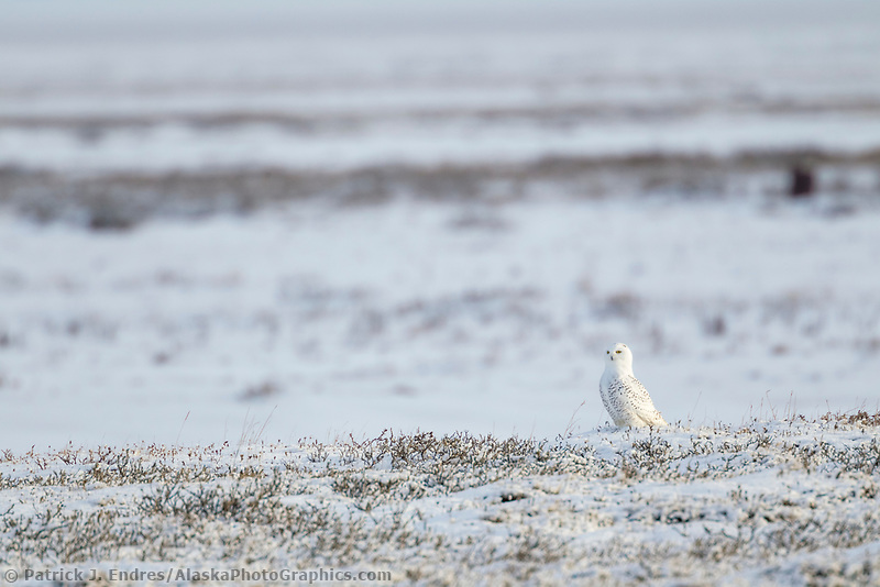 Snowy owl on the snow covered tundra of Alaska's arctic north slope.