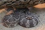 FB-S157  Rattlesnake