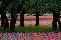 Meadow of red Indian Paintbrush and Bluebonnets among the mightly Texas Live Oak Trees in the Hill Country