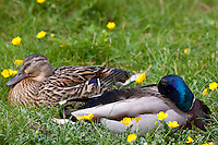 Male mallard drake and female duck pair sleeping in meadow, The Cotswolds, Oxfordshire, UK