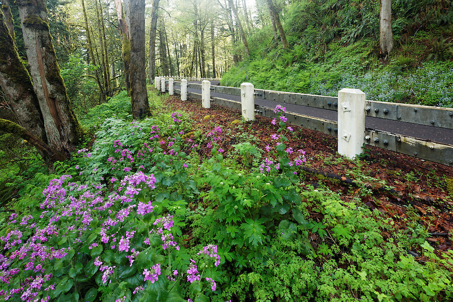Lunaria annua growing on shoulder of Scenic Highway 30 near Portland, Oregon, USA