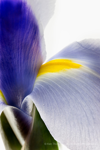 Iris, Backlit on Light Box