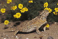Texas Horned Lizard (Phrynosoma cornutum), adult, Starr County, Rio Grande Valley, Texas, USA