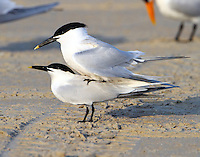 Sandwich terns copulating