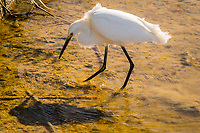A Snowy egret and its shadow patrol the shallow part of a neighborhood park's pond in its persistent search for food.
