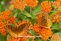 03322-01710 Great Spangled Fritillaries (Speyeria cybele) on Butterfly Milkweek (Asclepias tuberosa) Reynolds Co. MO