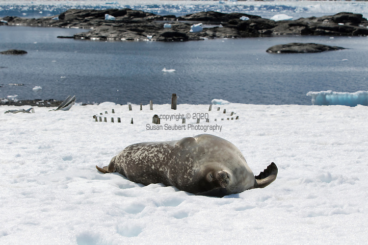 A Weddell Seal hauled out in front of the remains of a wooden whaling boat, Mikkelsen Harbour, Antarctica