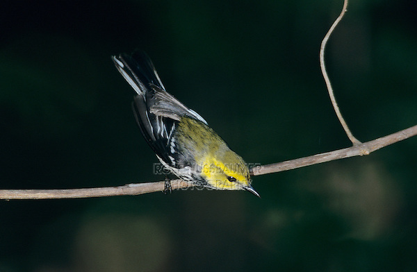 Black-throated Green Warbler, Dendroica virens,male, South Padre Island, Texas, USA, May 2005