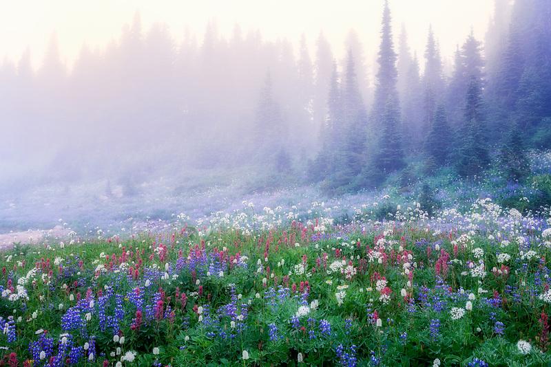 Wildflowers in fog. Mt. Rainier National Park, Washington