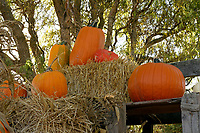 Display of pumpkins and bales of hay at Westham Island Herb Farm, Delta, British Columbia, Canada