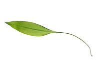 Bärlauch, Bär-Lauch, Allium ursinum, Ramsons, Wood Garlic, Wood-Garlic. L'ail des ours. Blatt, Blätter, leaf, leaves