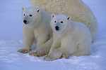 Two polar bear cubs sit in the snow in Canada.