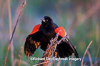 01603-022.15 Red-winged Blackbird (Agelaius phoeniceus) male singing-displaying in wetland Marion Co. IL