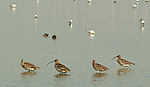 Hong Kong, Mai Po WWF reserve birds  Eurasian curlew, numenius arquata. The WWF Mai Po refuge at Deep Bay in Hong Kong is a wetland haven for thousands of migratory birds during autumn and winter.
