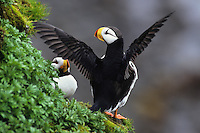 Horned puffins (Fratercula corniculata) North Pacific.