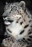 654409068 portrait of an adult snow leopard panthera uncia - individual is a wildlife rescue - species is native to the high steppes of central asia