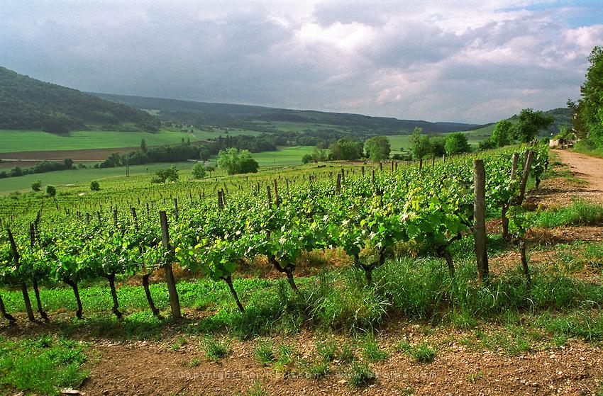 Domaine de Montmain, Hautes Cotes de Nuits, vines trained high (taille haute)