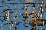Pied-billed grebe in spring