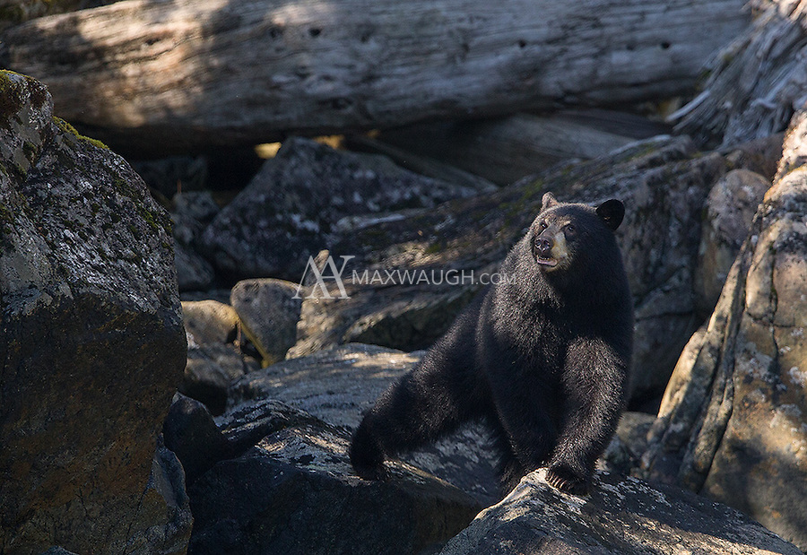 A young black bear comes down to the water to search for salmon carcasses.