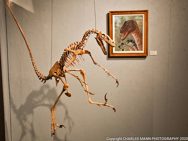 Dromaeosaurus was a raptor type of small dinosaur that lived in theJurassic period in an area around eastern New Mexico and can be seen at the Tucumcari Dinoaur Musuem in Tucumcari New MExico.