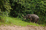 Borneo Pygmy Elephant (Elephas maximus borneensis) male in secondary lowland rainforest, Kinabatangan River, Sabah, Borneo, Malaysia