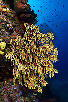 Golden soft coral in the Beqa Lagoon - Fiji.