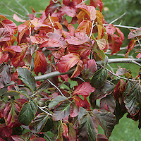 Persian Ironwood Parrotia persica (Hamamelidaceae) HEIGHT to 12m. A small, spreading deciduous tree with a short bole. BARK Smooth, peels away in flakes, leaving attractive coloured patches; older trees have a pattern of pink, brown and yellow. BRANCHES Mostly level. Young twigs are hairy, and terminate in blackish hairy buds. LEAVES To 7.5cm long, oval with a slightly tapering tip and a rounded base. The margins are wavy or sometimes slightly toothed. They are glossy green above and appear slightly crushed or crinkled, and the underside is slightly hairy. REPRODUCTIVE PARTS Flowers appear before the leaves in early spring; they are short-stalked clusters, reddish and inconspicuous. The fruits are dry capsules that split open to release small pointed, shiny-brown seeds. STATUS AND DISTRIBUTION Native of the Caucasus and N Iran, introduced into Europe as an ornamental tree.