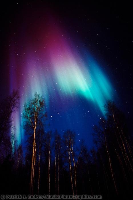 Colorful Aurora Borealis and birch trees in Fairbanks, Alaska