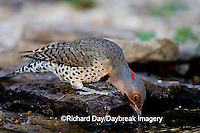 01193-013.10 Northern Flicker (Colaptes auratus) male drinking water, Marion Co. IL