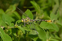 334120004 a wild male sulphur-tipped clubtail dragonfly gomphus militaris perches on a leafy plant at the southeast metropolitan park in austin travis county texas