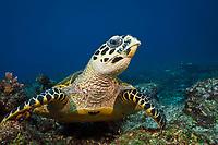 Hawksbill Sea Turtle, Eretmochelys imbricata, Komodo National Park, Lesser Sunda Islands, Indonesia, Pacific Ocean