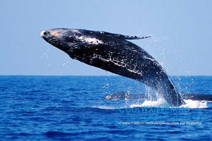 humpback whale calf, breaching, .Megaptera novaeangliae, .Hawaii (Pacific).
