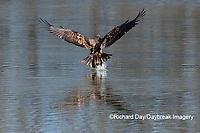 00807-03814 Bald Eagle (Haliaeetus lecocephalus) immature fishing Clinton Co. IL