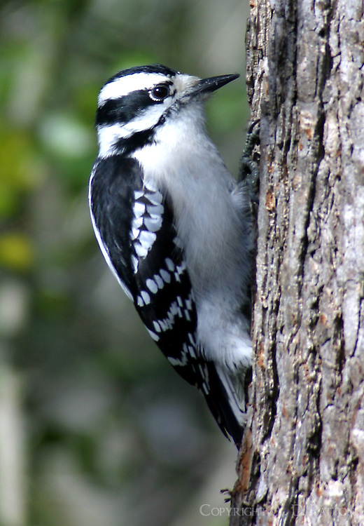 Adult female downy woodpecker