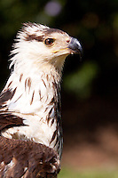 Juvenile African Fish Eagle (Haliaeetus vocifer)..Shot under controlled conditions..April 2009, fall..Falcon Ridge, Drakensberg, Kwazulu-Natal, South Africa.