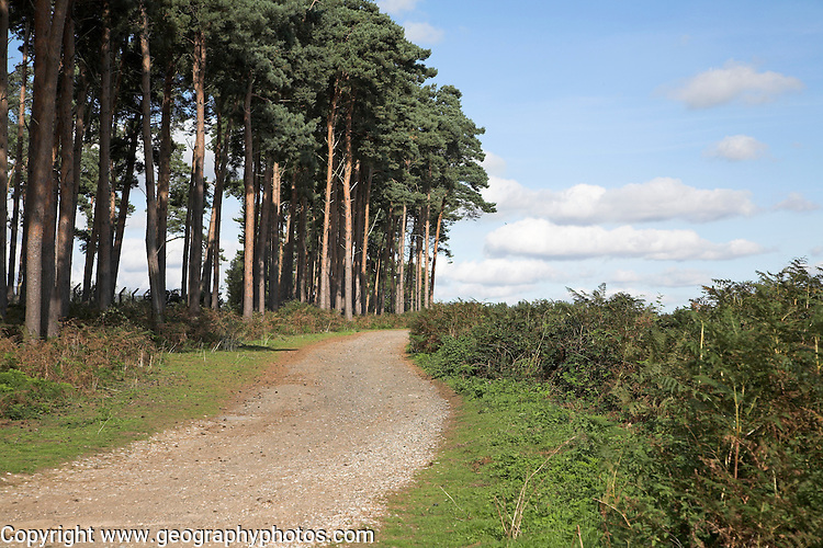 Conifer trees and cumulus clouds, Suffolk Sandlings landscape, Suffolk, England