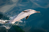 Long-beaked Common Dolphin, Delphinus capensis, leaping - note reflection on perfectly calm water surface -in the Gulf of California, Sea of Cortez, Mexico, Pacific Ocean