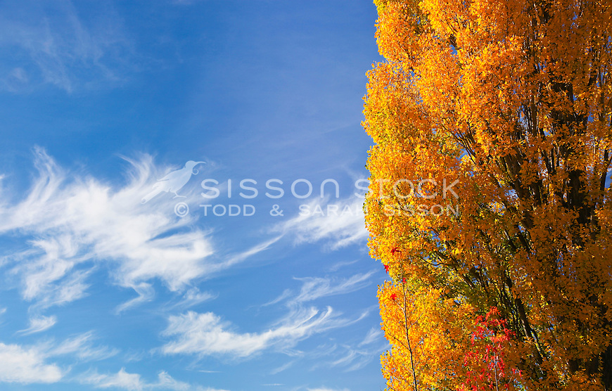 Poplar trees and blue sky with white clouds in central Otago, South Island of New Zealand. close up shot variations. Good for abstract background use.Vivid Autumn Colour (Color).