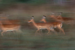 Impalas in motion, Kenya, Africa