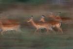 Impalas in motion, Kenya, Africa