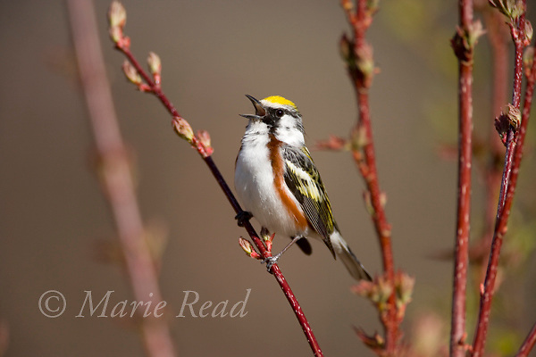 Chestnut-sided Warbler (Dendroica pensylvanica) male singing, New York, USA