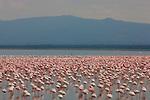 Large flock of lesser flamingos (Phoenicopterus minor), Kenya, Lake Nakuru National Park